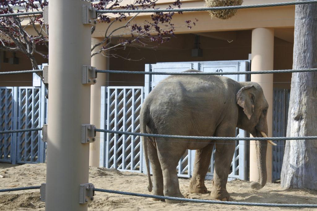 円山動物園の象-屋外