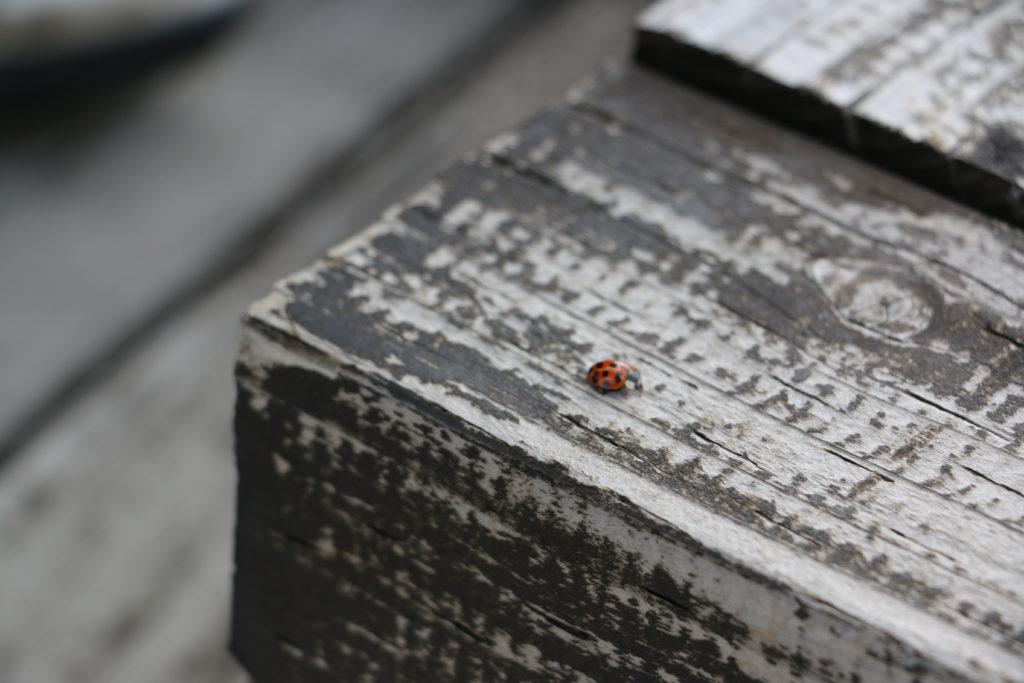 はまなすの丘公園(札幌近郊)のてんとう虫