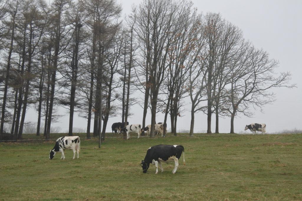 ノーザンホースパーク-牛