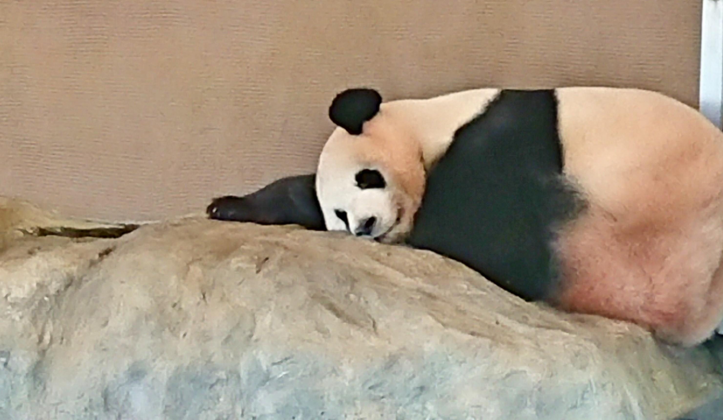 倒れこむパンダ-うつ休養