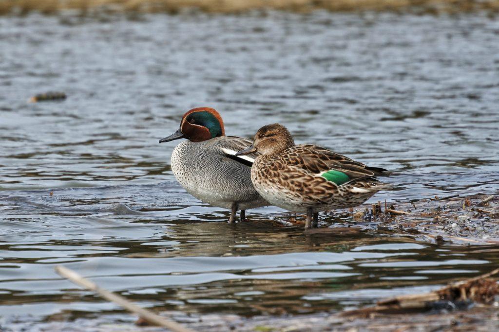 見た目が違う夫婦の鳥
