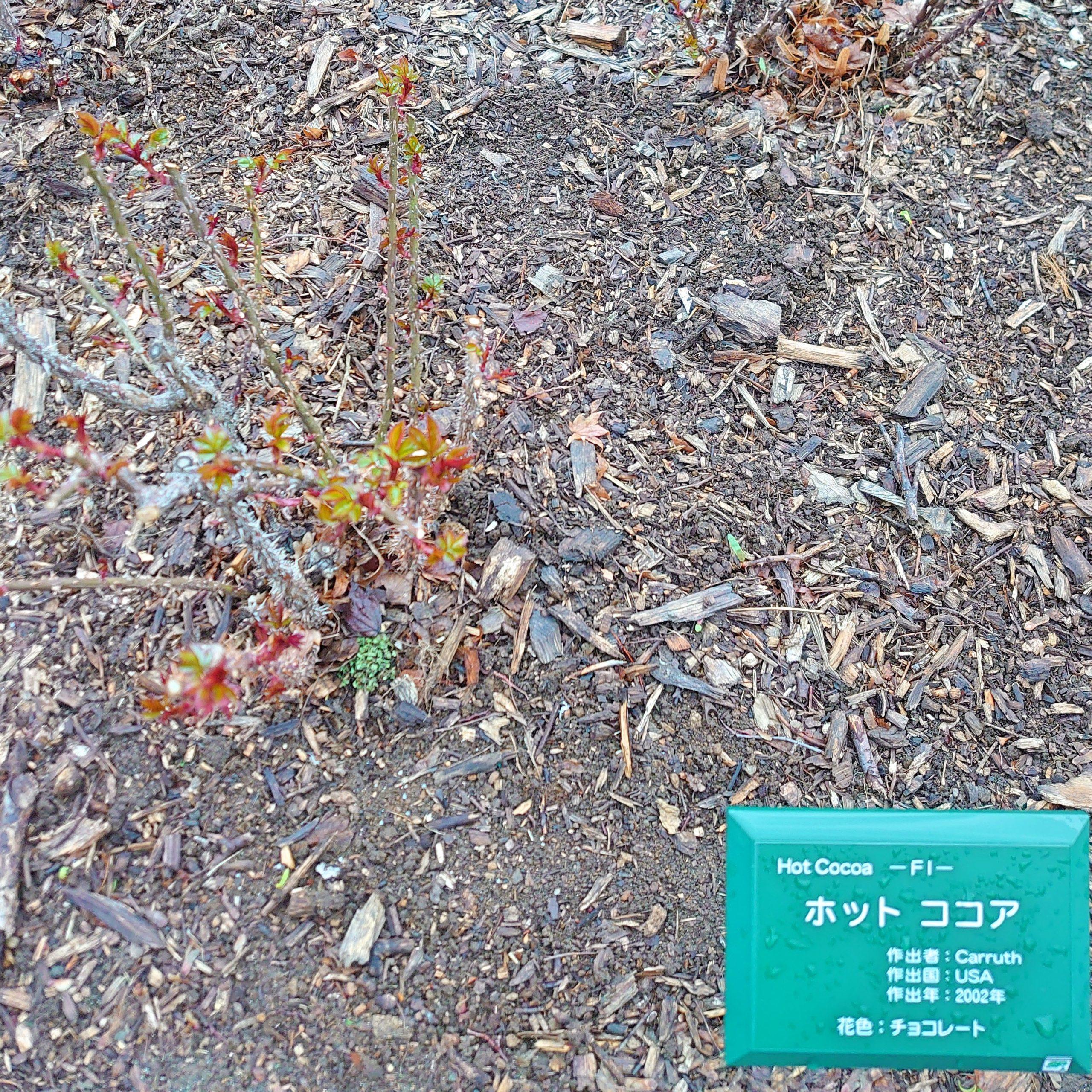 バラ−大通公園