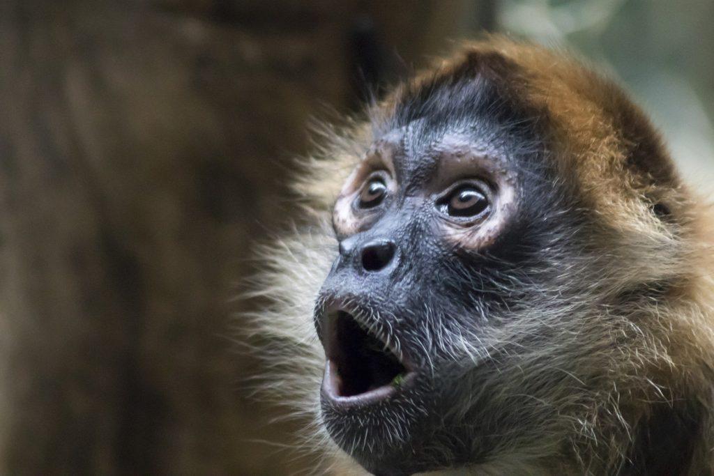 ショックを受けている猿