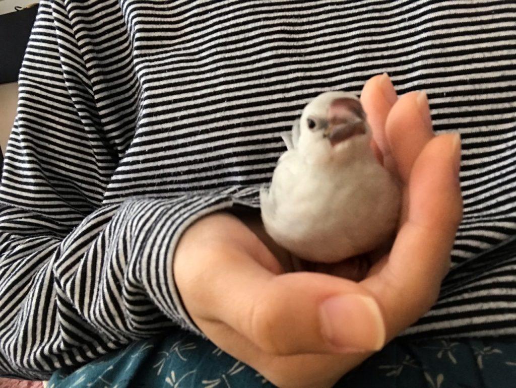 こちらを見ている手乗り文鳥-アニマルセラピー